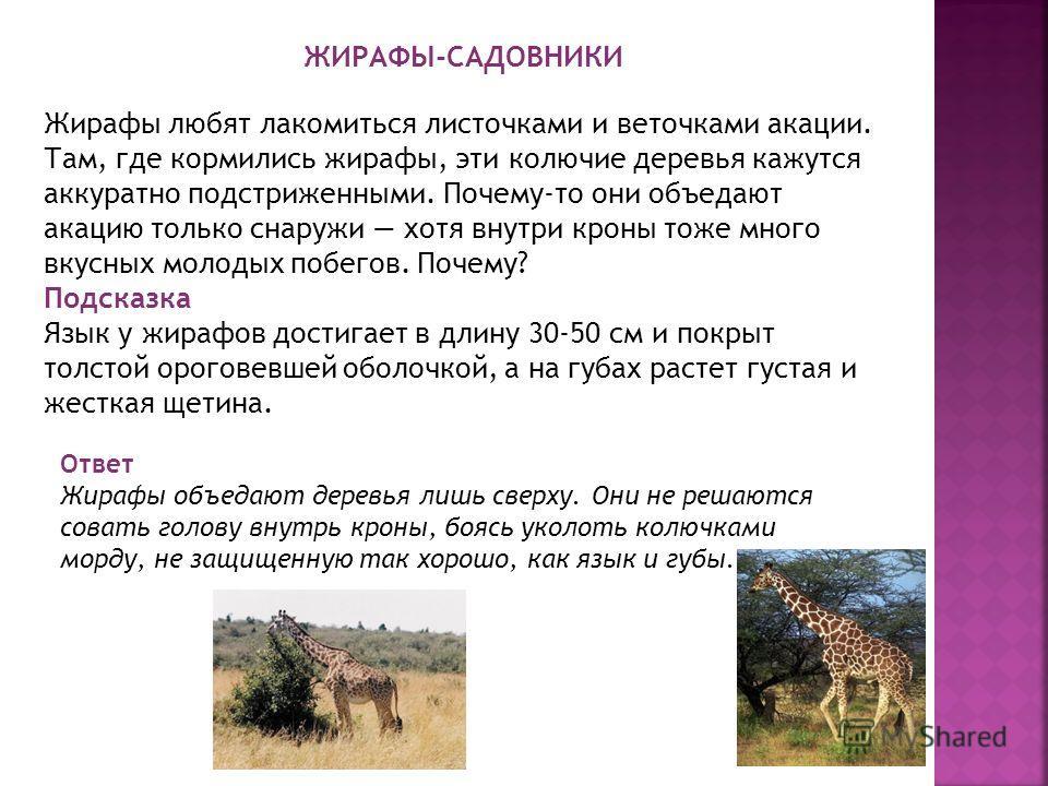ЖИРАФЫ-САДОВНИКИ Жирафы любят лакомиться листочками и веточками акации. Там, где кормились жирафы, эти колючие деревья кажутся аккуратно подстриженными. Почему-то они объедают акацию только снаружи хотя внутри кроны тоже много вкусных молодых побегов