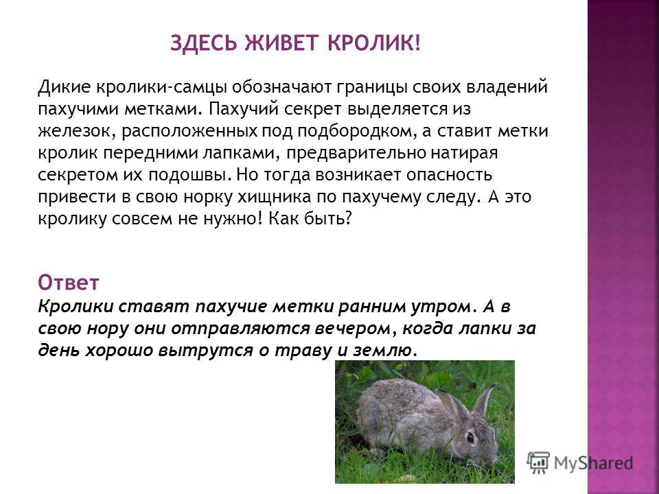 ЗДЕСЬ ЖИВЕТ КРОЛИК! Дикие кролики-самцы обозначают границы своих владений пахучими метками. Пахучий секрет выделяется из железок, расположенных под подбородком, а ставит метки кролик передними лапками, предварительно натирая секретом их подошвы. Но т