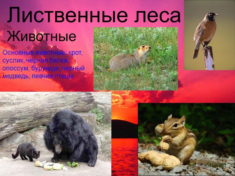 Лиственные леса Животные Основные животные: крот, суслик, черная белка, опоссум, бурундук, черный медведь, певчие птицы