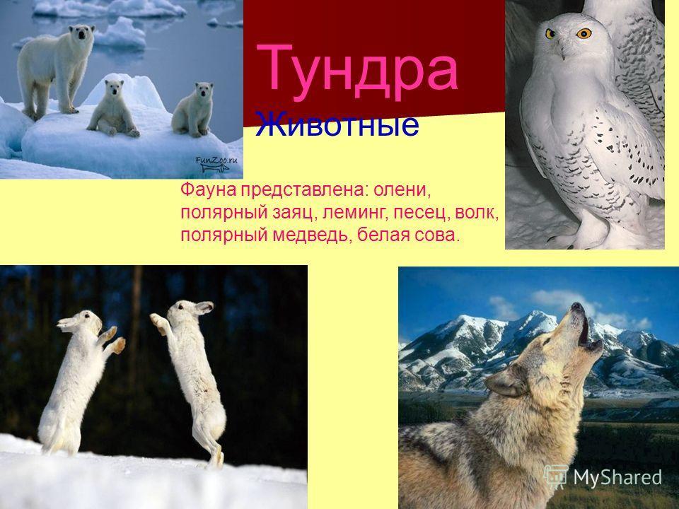 Тундра Животные Фауна представлена: олени, полярный заяц, леминг, песец, волк, полярный медведь, белая сова.