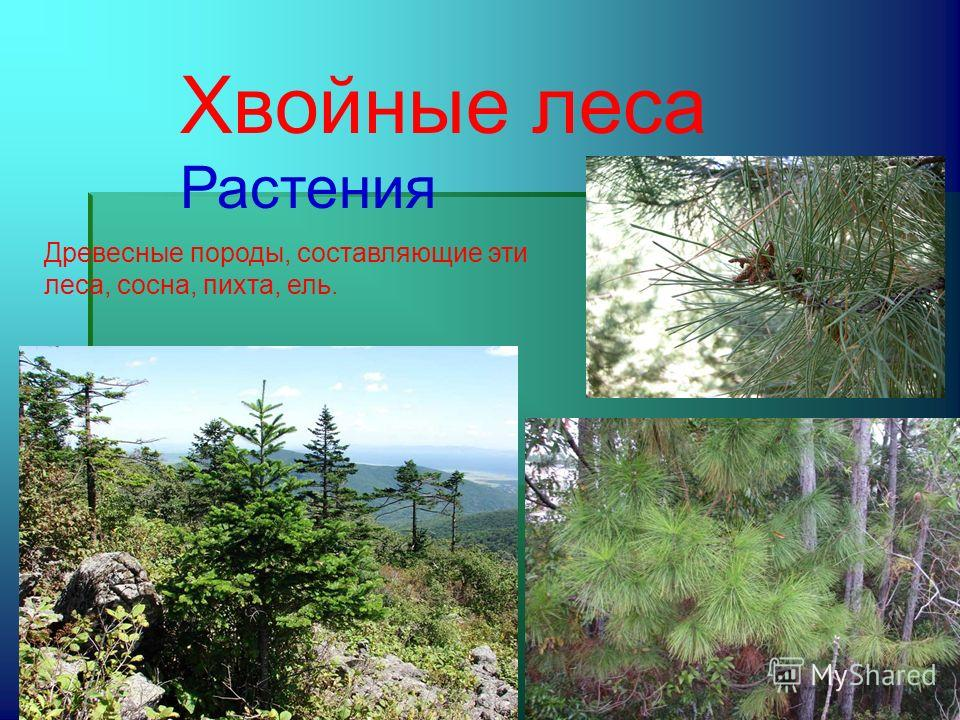 Хвойные леса Растения Древесные породы, составляющие эти леса, сосна, пихта, ель.