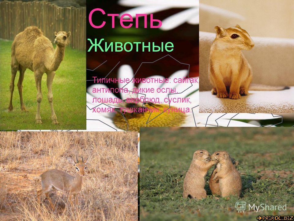 Степь Животные Типичные животные: сайгак, антилопа, дикие ослы, лошадь, верблюд, суслик, хомяк, тушканчик, куница.