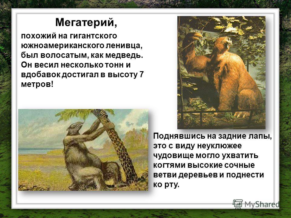 Мегатерий, похожий на гигантского южноамериканского ленивца, был волосатым, как медведь. Он весил несколько тонн и вдобавок достигал в высоту 7 метров! Поднявшись на задние лапы, это с виду неуклюжее чудовище могло ухватить когтями высокие сочные вет