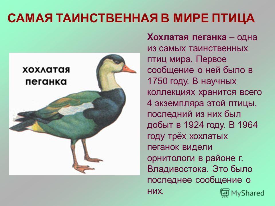 САМАЯ ТАИНСТВЕННАЯ В МИРЕ ПТИЦА Хохлатая пеганка – одна из самых таинственных птиц мира. Первое сообщение о ней было в 1750 году. В научных коллекциях хранится всего 4 экземпляра этой птицы, последний из них был добыт в 1924 году. В 1964 году трёх хо