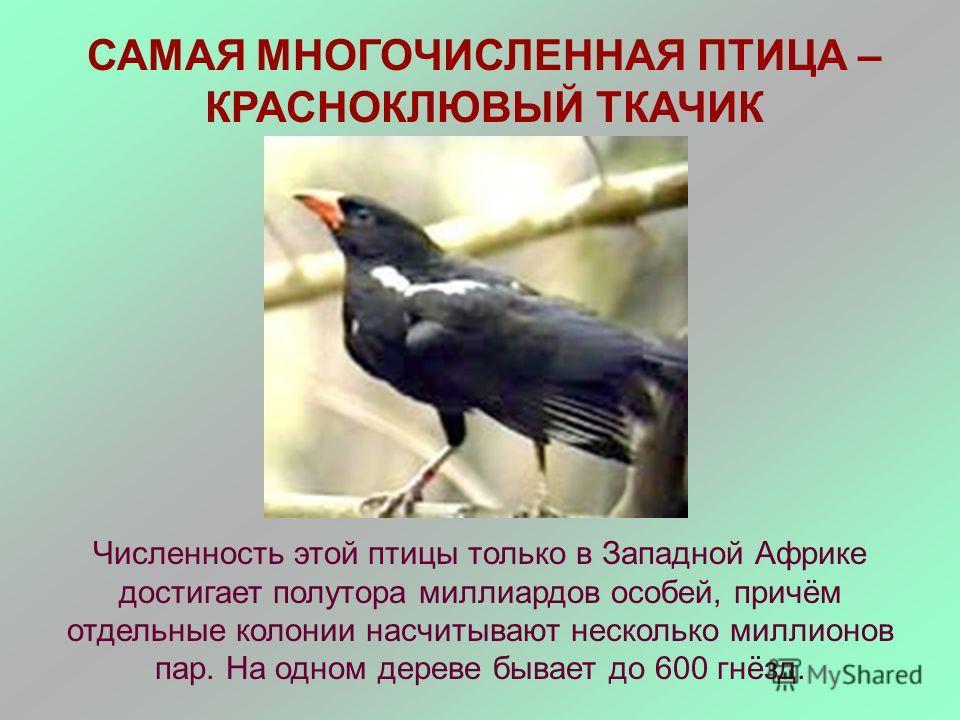 САМАЯ МНОГОЧИСЛЕННАЯ ПТИЦА – КРАСНОКЛЮВЫЙ ТКАЧИК Численность этой птицы только в Западной Африке достигает полутора миллиардов особей, причём отдельные колонии насчитывают несколько миллионов пар. На одном дереве бывает до 600 гнёзд.