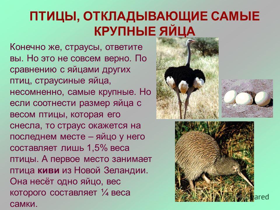 ПТИЦЫ, ОТКЛАДЫВАЮЩИЕ САМЫЕ КРУПНЫЕ ЯЙЦА Конечно же, страусы, ответите вы. Но это не совсем верно. По сравнению с яйцами других птиц, страусиные яйца, несомненно, самые крупные. Но если соотнести размер яйца с весом птицы, которая его снесла, то страу