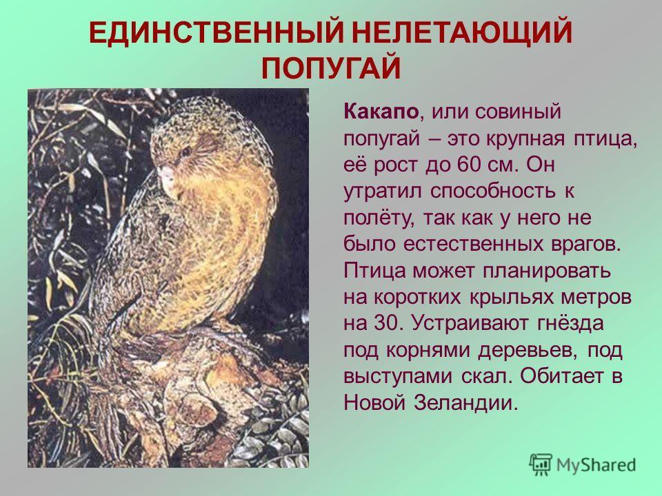 ЕДИНСТВЕННЫЙ НЕЛЕТАЮЩИЙ ПОПУГАЙ Какапо, или совиный попугай – это крупная птица, её рост до 60 см. Он утратил способность к полёту, так как у него не было естественных врагов. Птица может планировать на коротких крыльях метров на 30. Устраивают гнёзд