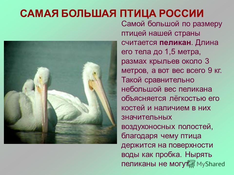 САМАЯ БОЛЬШАЯ ПТИЦА РОССИИ Самой большой по размеру птицей нашей страны считается пеликан. Длина его тела до 1,5 метра, размах крыльев около 3 метров, а вот вес всего 9 кг. Такой сравнительно небольшой вес пеликана объясняется лёгкостью его костей и