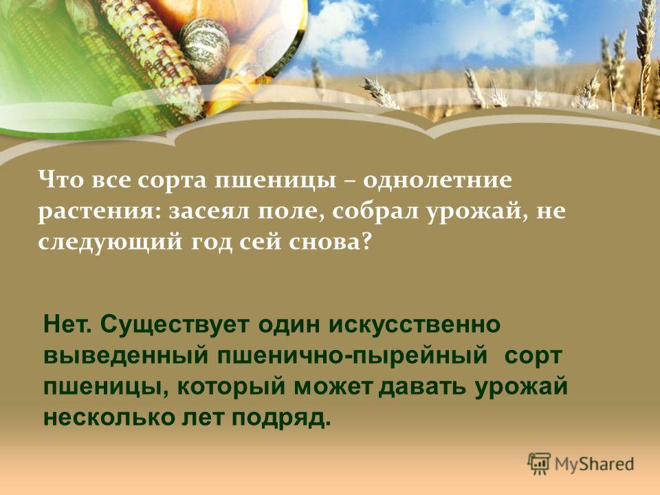 Что все сорта пшеницы – однолетние растения: засеял поле, собрал урожай, не следующий год сей снова? Нет. Существует один искусственно выведенный пшенично-пырейный сорт пшеницы, который может давать урожай несколько лет подряд.