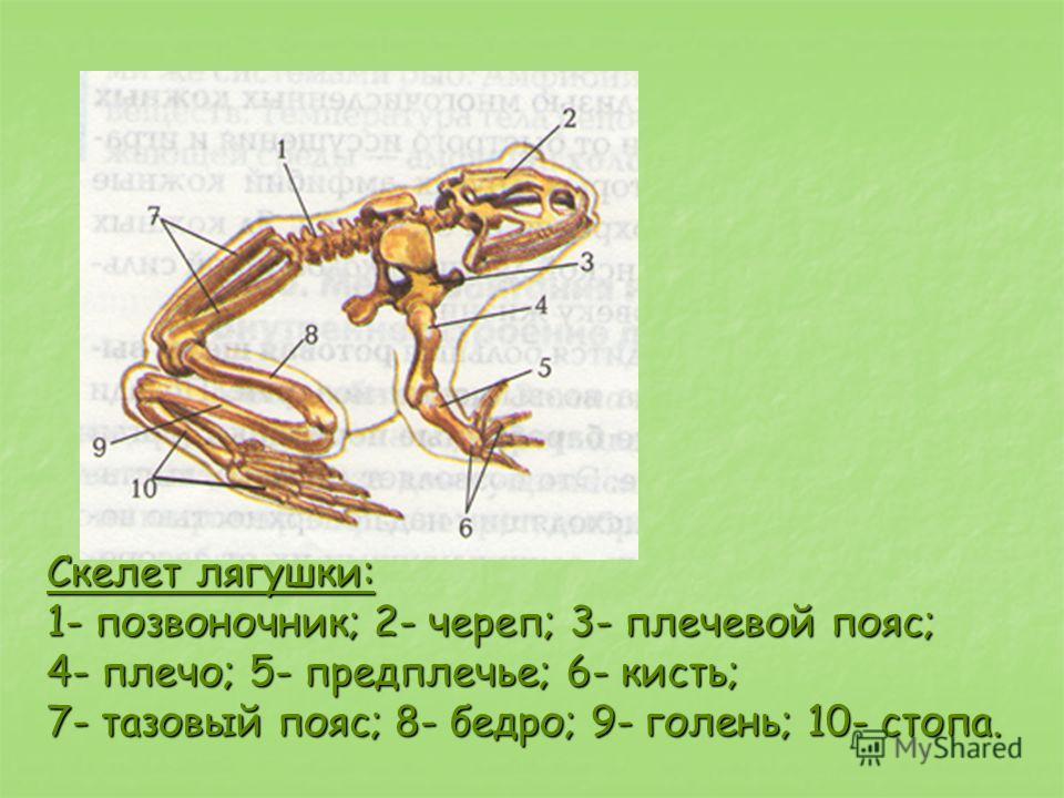 Скелет лягушки: Скелет лягушки: 1- позвоночник; 2- череп; 3- плечевой пояс; 4- плечо; 5- предплечье; 6- кисть; 7- тазовый пояс; 8- бедро; 9- голень; 10- стопа.