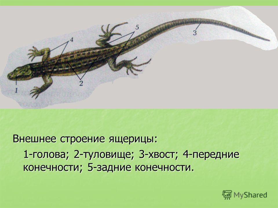 Внешнее строение ящерицы: 1-голова; 2-туловище; 3-хвост; 4-передние конечности; 5-задние конечности.