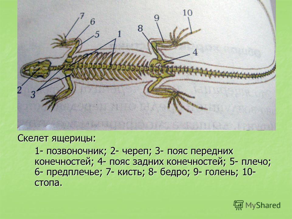 Скелет ящерицы: 1- позвоночник; 2- череп; 3- пояс передних конечностей; 4- пояс задних конечностей; 5- плечо; 6- предплечье; 7- кисть; 8- бедро; 9- голень; 10- стопа.