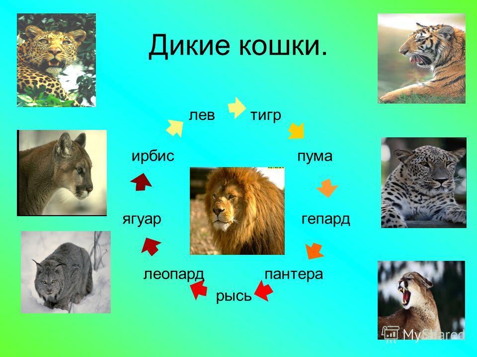 Домашние кошки. –Считается, что домашние кошки происходят от дикого кота, хотя их предком может быть также ливийская кошка. –Никто не может определённо сказать, почему кошки были одомашнены. Возможно именно их умение охотиться на крыс и мышей сделало