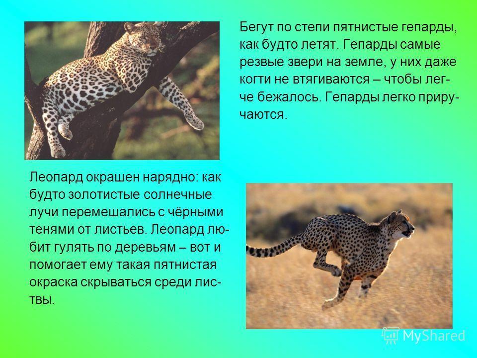 Льва принято считать царём зверей. Это очень. крупный и сильный хищник. Клыки короткие, но мощные. Тело покрыто короткой шерстью, лишь у самцов на голове и груди разрастается огромная грива. Шкура очень прочная, глаза зоркие. Тигр – самый крупный пре
