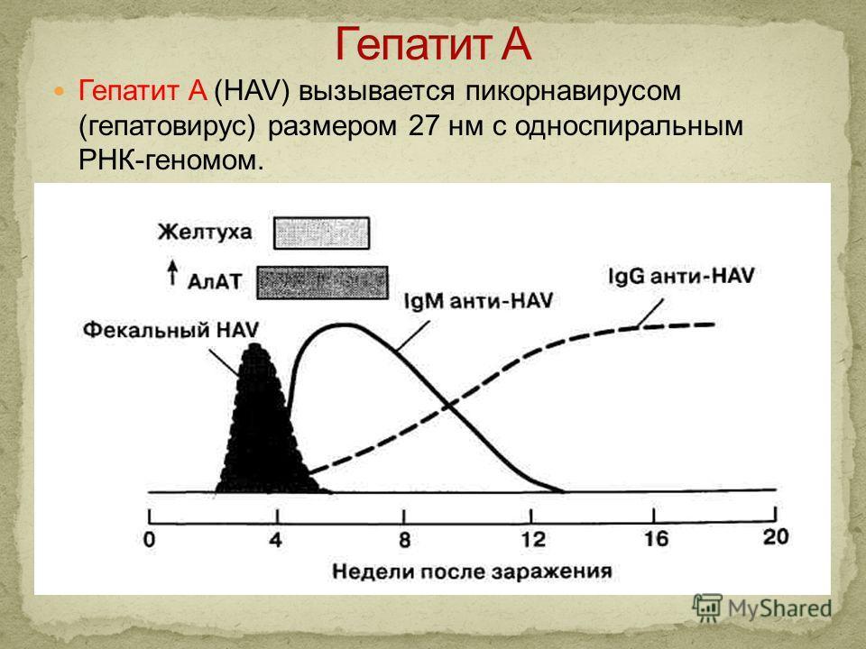 Гепатит A (HAV) вызывается пикорнавирусом (гепатовирус) размером 27 нм с односпиральным РНК-геномом.
