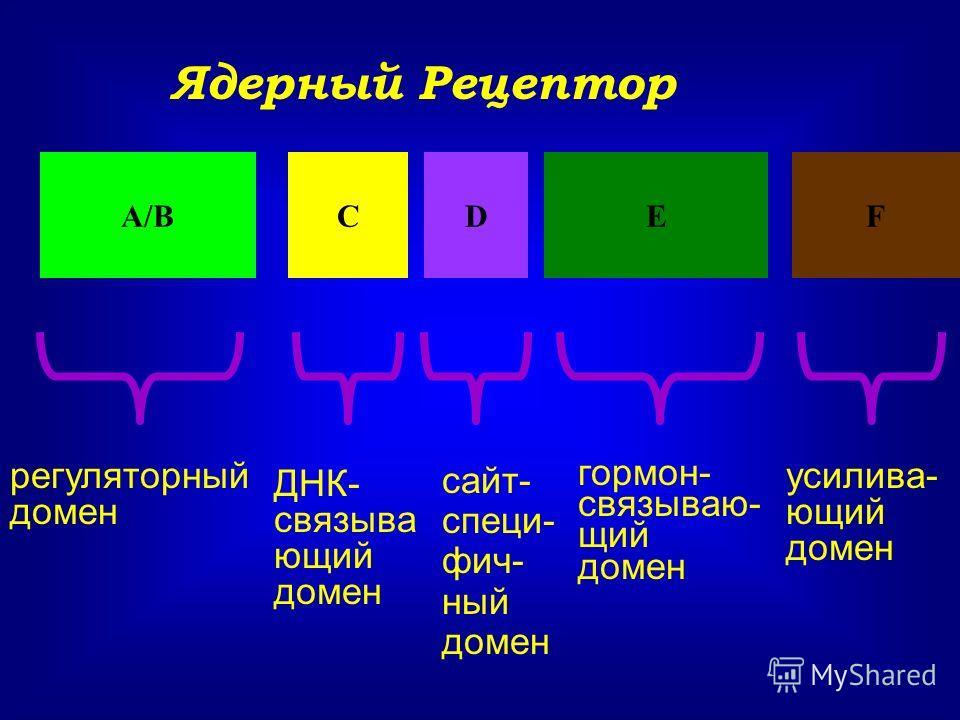 Ядерный Рецептор А/ВСDЕF регуляторный домен ДНК- связыва ющий домен сайт- специ- фич- ный домен гормон- связываю- щий домен усилива- ющий домен