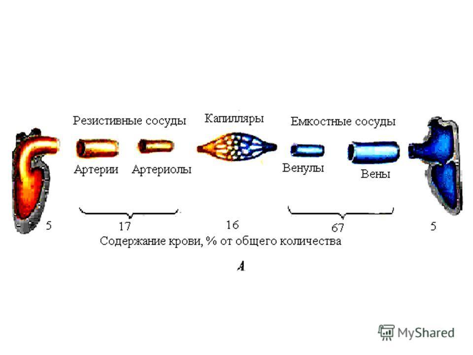 1. Сердце – насос и генератор давления. 2. Компрессионная камера – аорта и крупные эластические артерии, обеспечивают непрерывность тока крови. 3. Магистральные сосуды – артерии мышечно-эластического типа обеспечивают транспорт крови к органам. 4. Ре