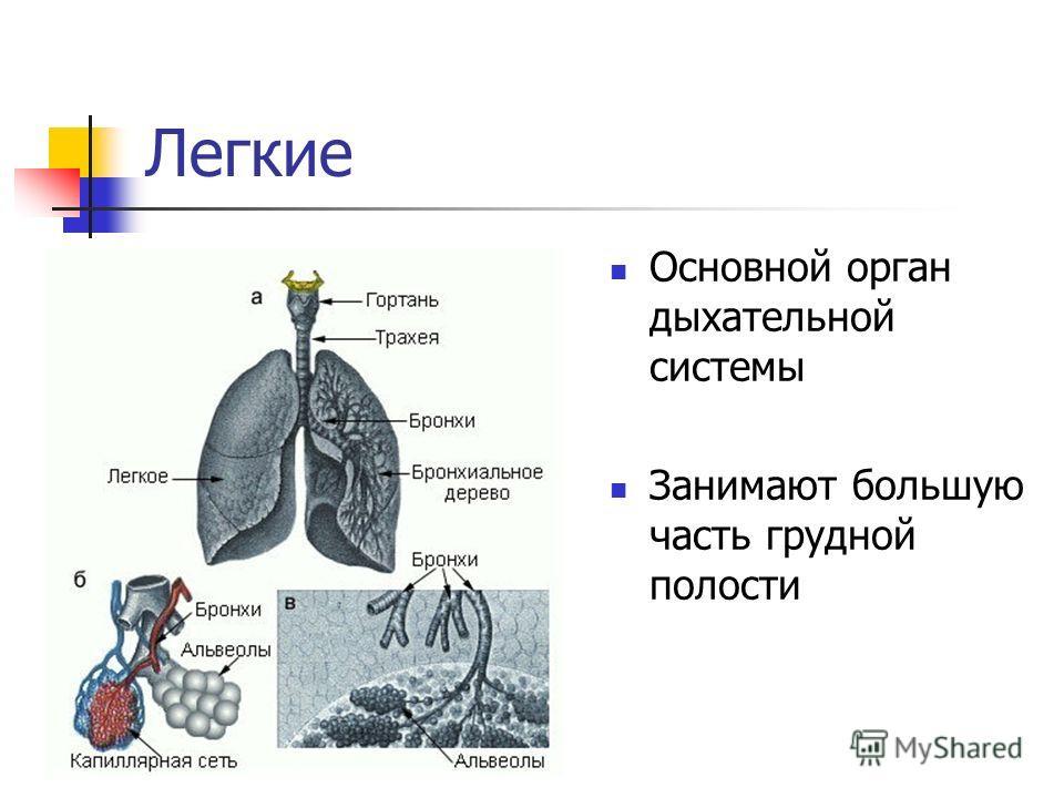 Легкие Основной орган дыхательной системы Занимают большую часть грудной полости