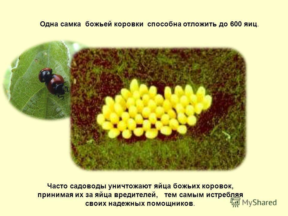 Часто садоводы уничтожают яйца божьих коровок, принимая их за яйца вредителей, тем самым истребляя своих надежных помощников. Одна самка божьей коровки способна отложить до 600 яиц.