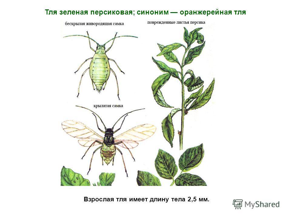 Взрослая тля имеет длину тела 2,5 мм. Тля зеленая персиковая; синоним оранжерейная тля