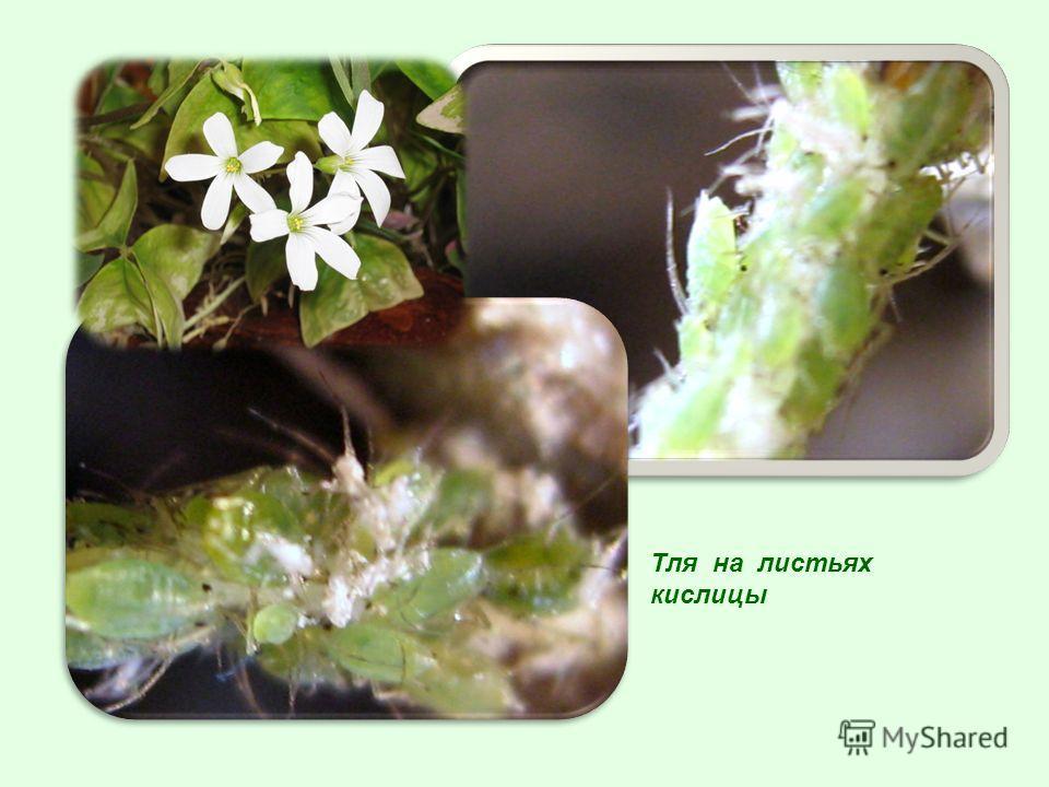 Тля на листьях кислицы