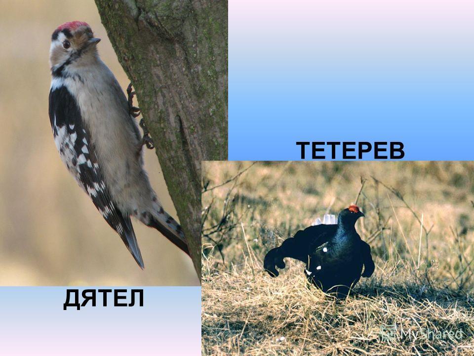 ДЯТЕЛ ТЕТЕРЕВ