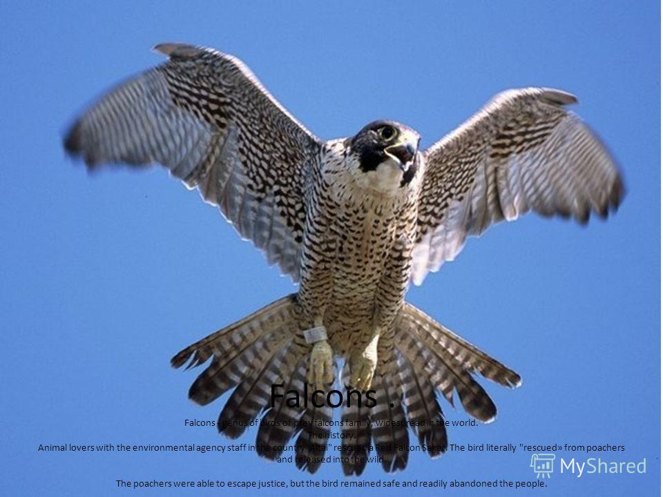 Falcons. Falcons - genus of birds of prey falcons family, widespread in the world. The history. Animal lovers with the environmental agency staff in the country