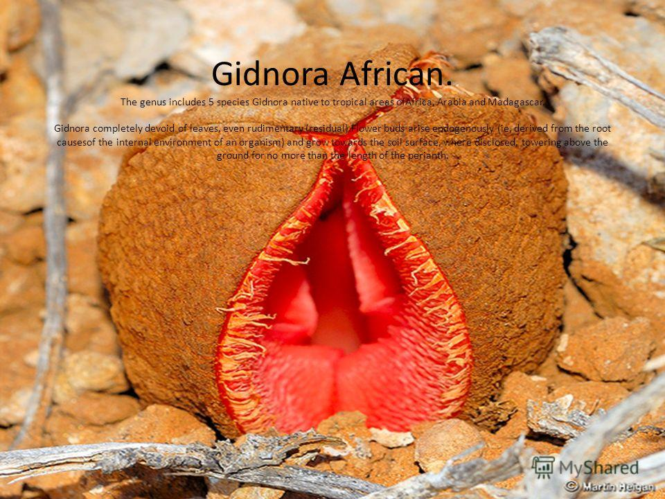 Gidnora African. The genus includes 5 species Gidnora native to tropical areas ofAfrica, Arabia and Madagascar. Gidnora completely devoid of leaves, even rudimentary (residual).Flower buds arise endogenously (ie, derived from the root causesof the in