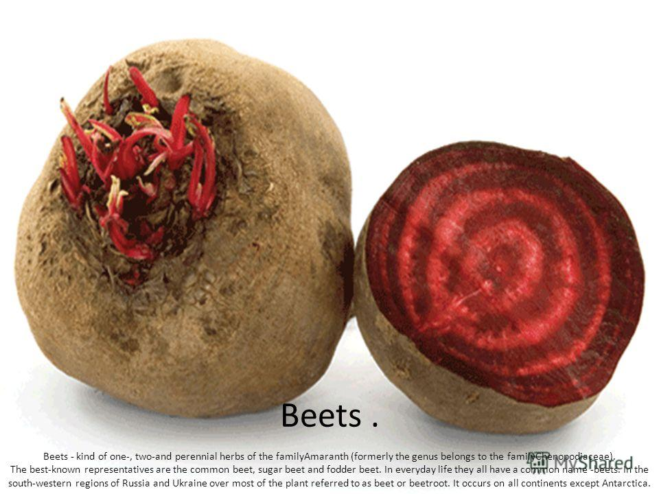 Beets. Beets - kind of one-, two-and perennial herbs of the familyAmaranth (formerly the genus belongs to the familyChenopodiaceae). The best-known representatives are the common beet, sugar beet and fodder beet. In everyday life they all have a comm