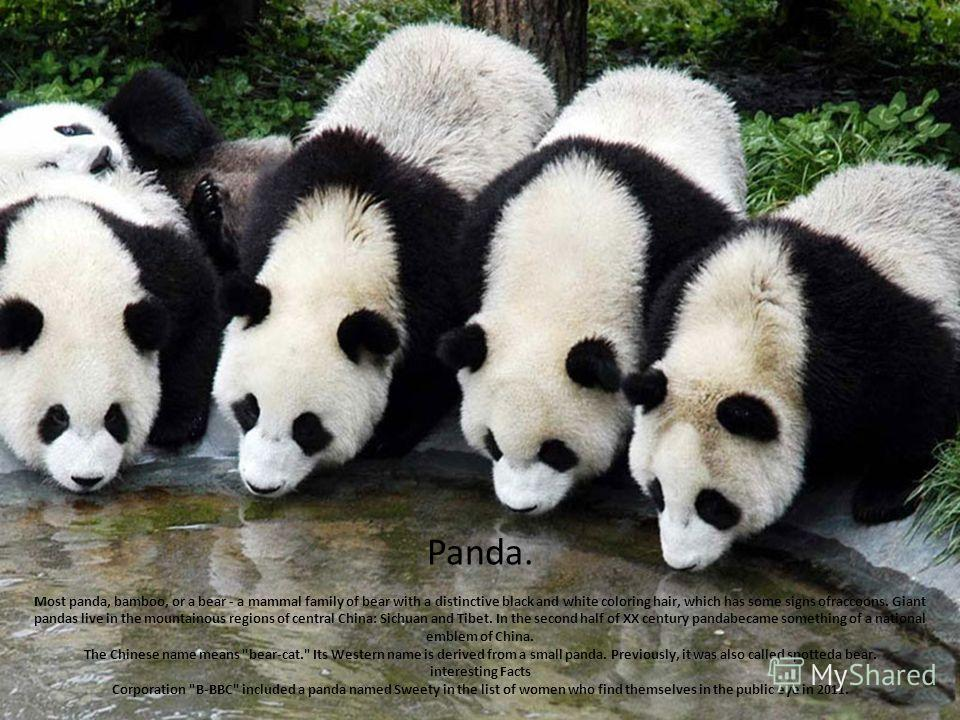 Panda. Most panda, bamboo, or a bear - a mammal family of bear with a distinctive black and white coloring hair, which has some signs ofraccoons. Giant pandas live in the mountainous regions of central China: Sichuan and Tibet. In the second half of