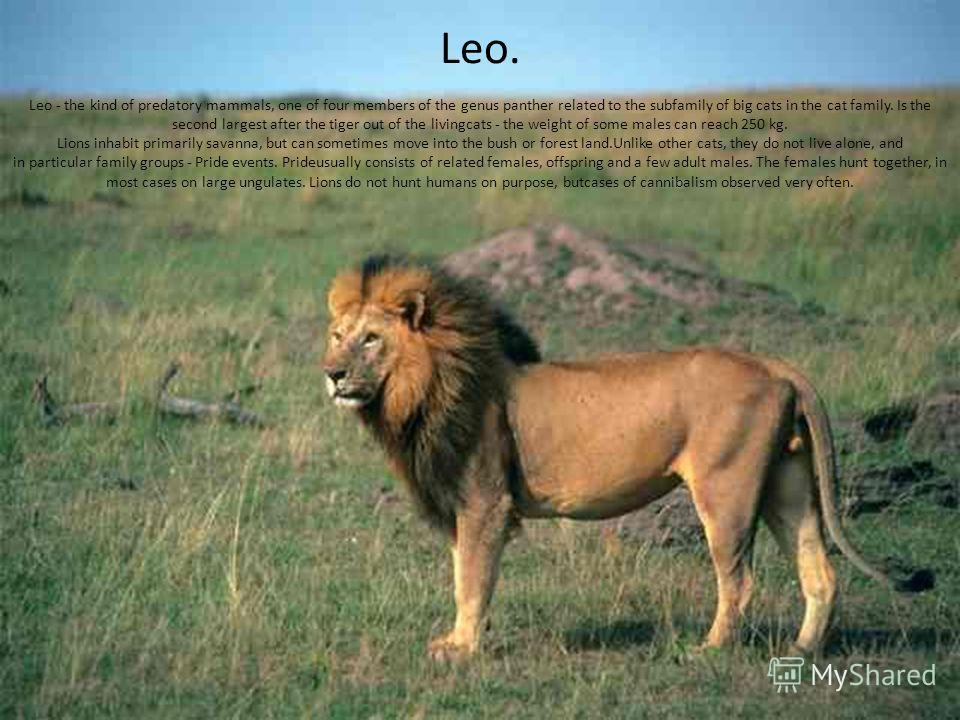 Leo. Leo - the kind of predatory mammals, one of four members of the genus panther related to the subfamily of big cats in the cat family. Is the second largest after the tiger out of the livingcats - the weight of some males can reach 250 kg. Lions