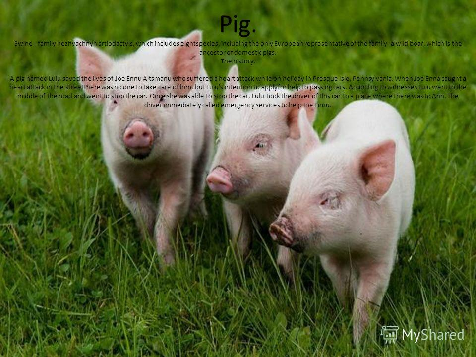 Pig. Swine - family nezhvachnyh artiodactyls, which includes eightspecies, including the only European representative of the family -a wild boar, which is the ancestor of domestic pigs. The history. A pig named Lulu saved the lives of Joe Ennu Altsma