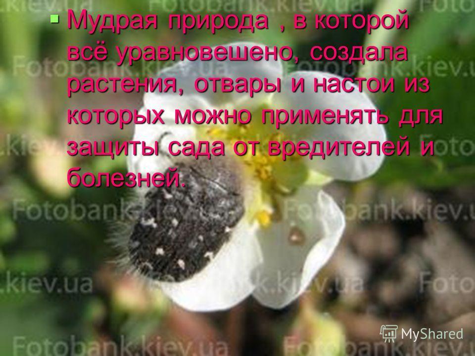 Мудрая природа, в которой всё уравновешено, создала растения, отвары и настои из которых можно применять для защиты сада от вредителей и болезней. Мудрая природа, в которой всё уравновешено, создала растения, отвары и настои из которых можно применят