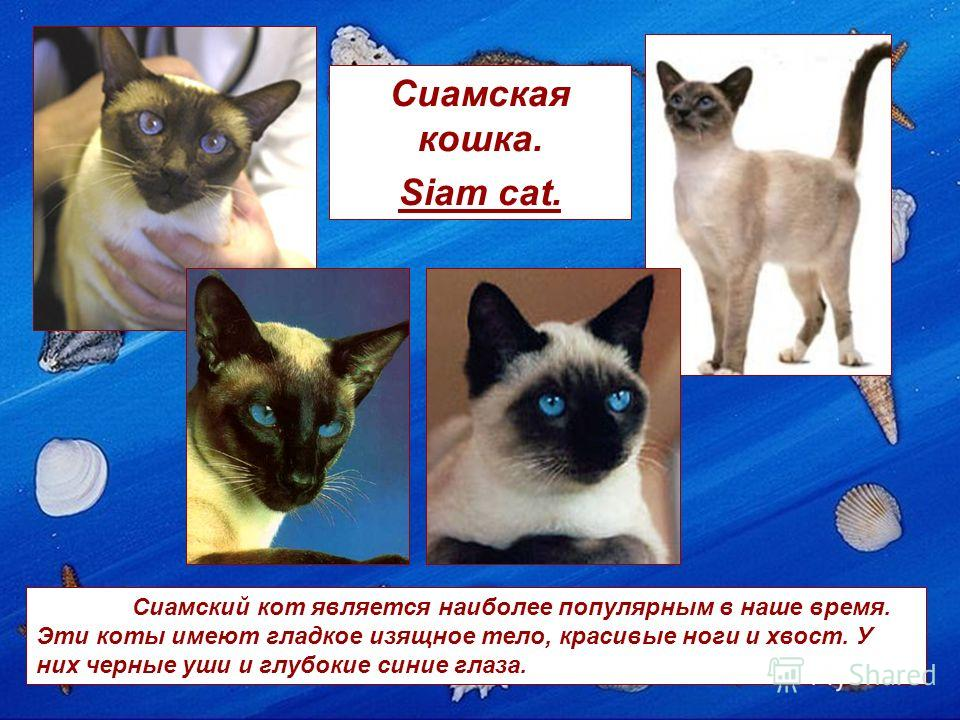 Сиамская кошка. Siam cat. Сиамский кот является наиболее популярным в наше время. Эти коты имеют гладкое изящное тело, красивые ноги и хвост. У них черные уши и глубокие синие глаза.