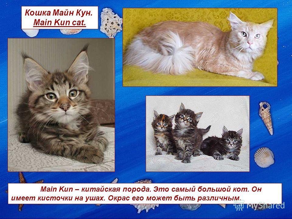 Кошка Майн Кун. Main Kun cat. Main Kun – китайская порода. Это самый большой кот. Он имеет кисточки на ушах. Окрас его может быть различным.