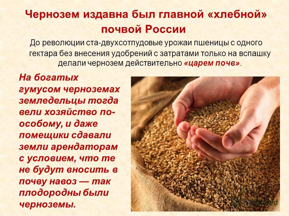 Чернозем издавна был главной «хлебной» почвой России До революции ста-двухсотпудовые урожаи пшеницы с одного гектара без внесения удобрений с затратами только на вспашку делали чернозем действительно «царем почв». На богатых гумусом черноземах землед