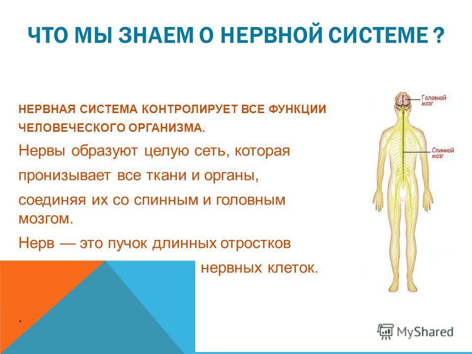 ЧТО МЫ ЗНАЕМ О НЕРВНОЙ СИСТЕМЕ ? НЕРВНАЯ СИСТЕМА КОНТРОЛИРУЕТ ВСЕ ФУНКЦИИ ЧЕЛОВЕЧЕСКОГО ОРГАНИЗМА. Нервы образуют целую сеть, которая пронизывает все ткани и органы, соединяя их со спинным и головным мозгом. Нерв это пучок длинных отростков нервных к