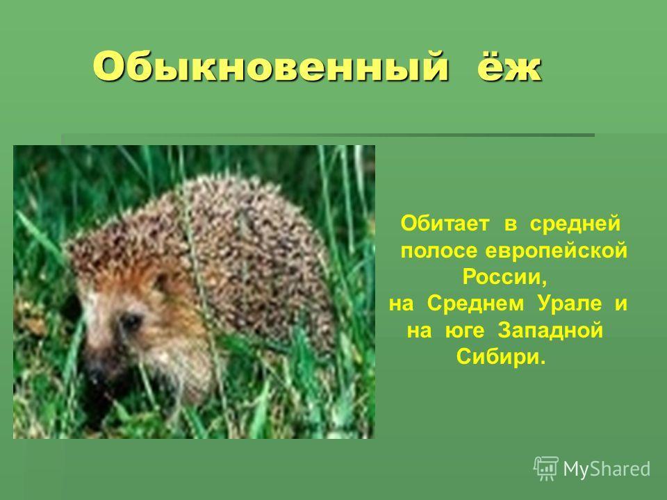 Обыкновенный ёж Обыкновенный ёж Обитает в средней полосе европейской России, на Среднем Урале и на юге Западной Сибири.
