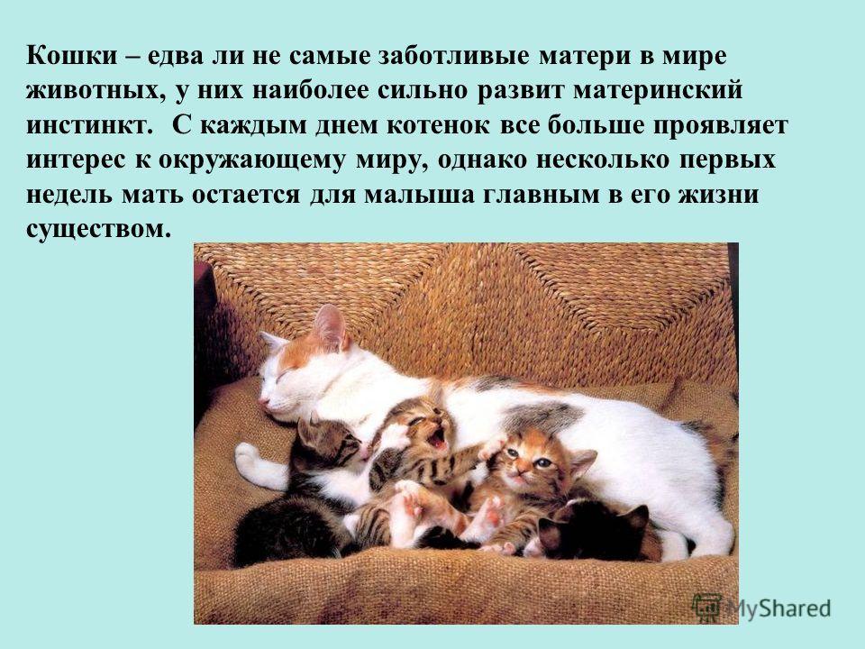 Кошки – едва ли не самые заботливые матери в мире животных, у них наиболее сильно развит материнский инстинкт. С каждым днем котенок все больше проявляет интерес к окружающему миру, однако несколько первых недель мать остается для малыша главным в ег
