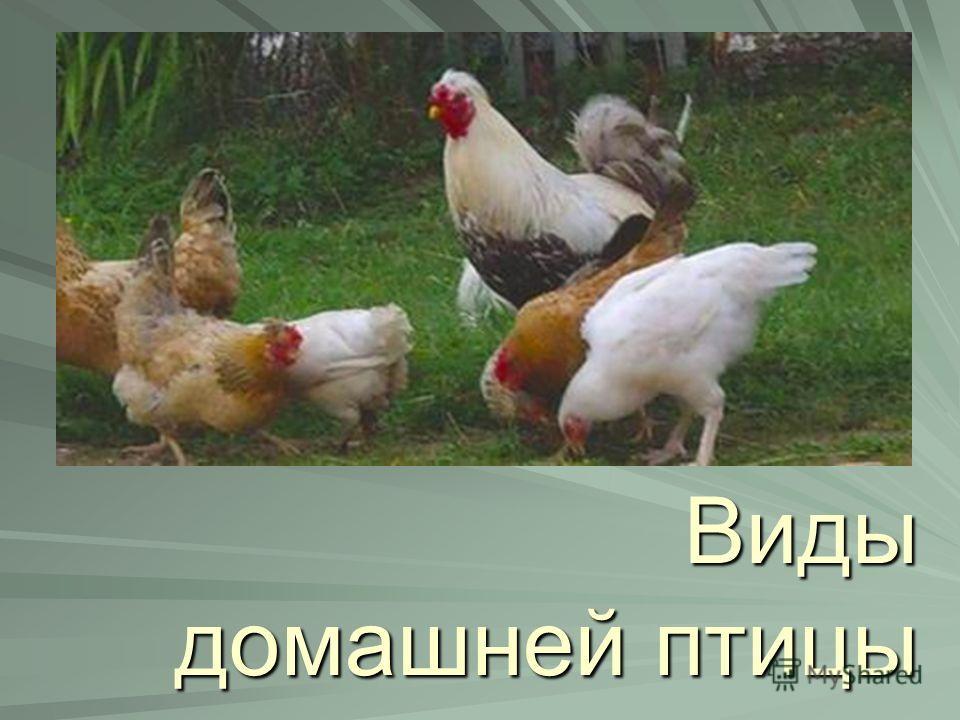 Виды домашней птицы