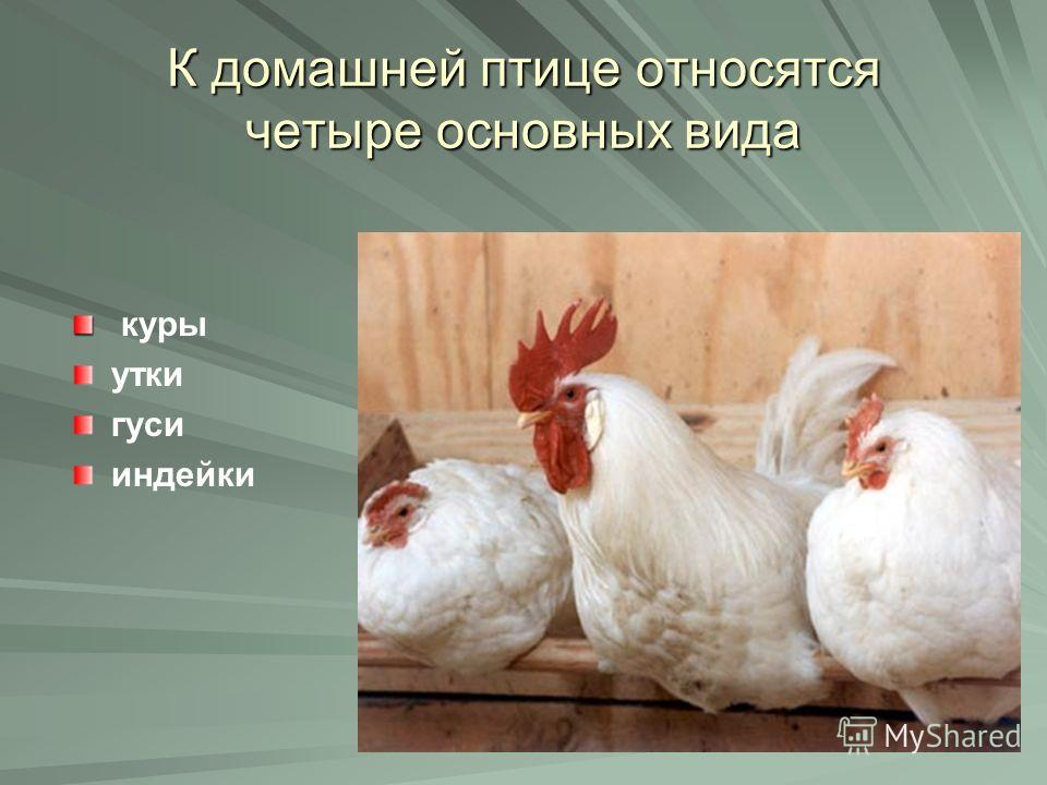 К домашней птице относятся четыре основных вида куры утки гуси индейки