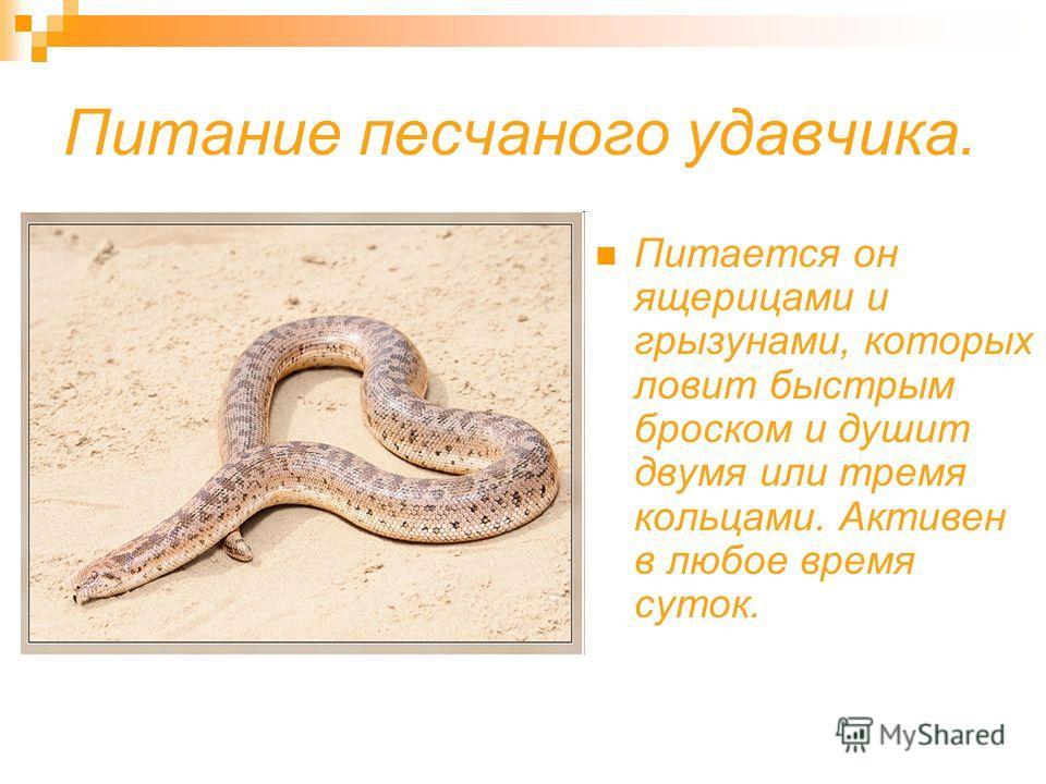 Размер её. Песчаный удавчик идеально приспособлен к роющему образу жизни: глаза и ноздри смещены на верхнюю часть головы, что позволяет незаметно наблюдать из песка за добычей.
