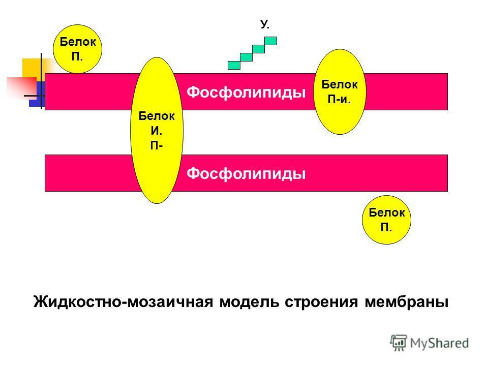 Фосфолипиды Белок П. Белок П. Белок П-и. Белок И. П- У. Жидкостно-мозаичная модель строения мембраны