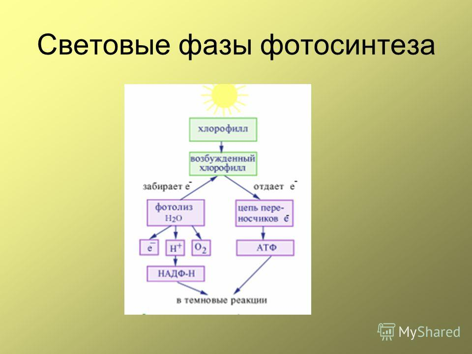 Световые фазы фотосинтеза