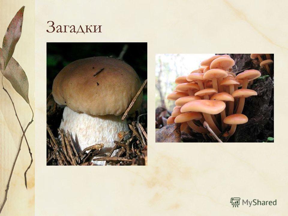 Загадки Царь грибов на толстой ножке – Самый лучший для лукошка. Он головку держит смело, Потому что гриб он … Мы весёлые ребята А зовут все нас…. Так назвали нас не зря: Мы на пне живём, друзья.