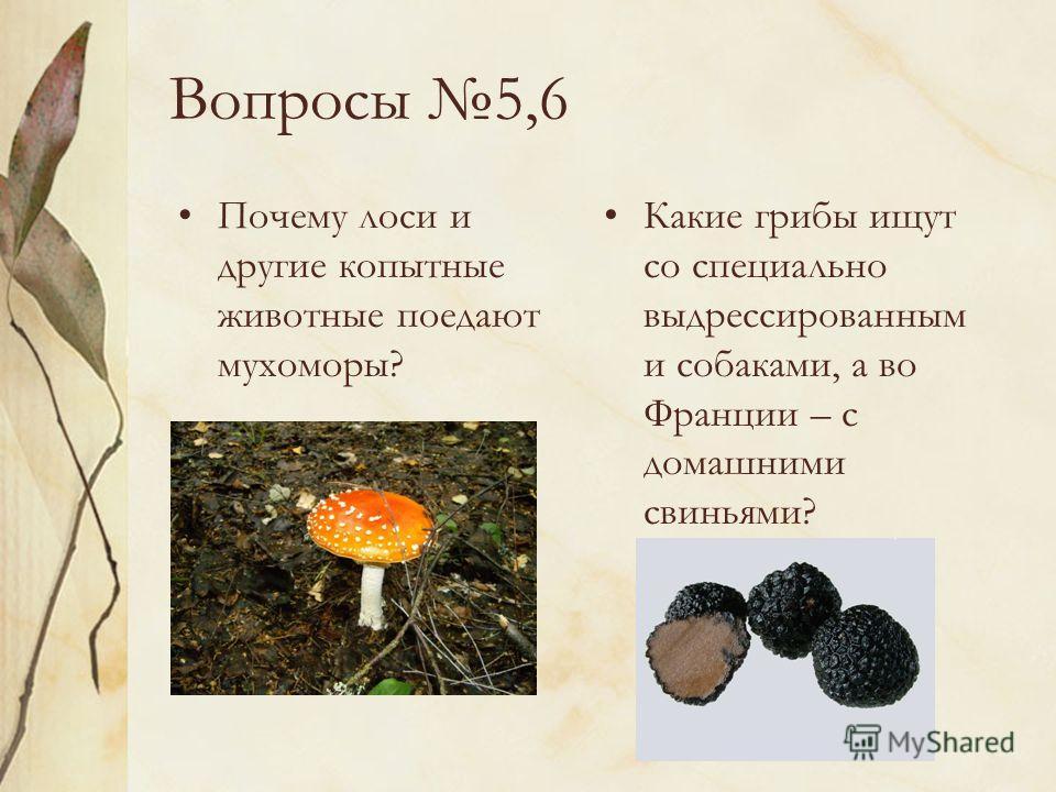 Вопросы 5,6 Почему лоси и другие копытные животные поедают мухоморы? Какие грибы ищут со специально выдрессированным и собаками, а во Франции – с домашними свиньями?