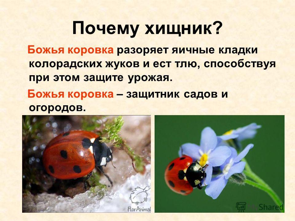 Почему хищник? Божья коровка разоряет яичные кладки колорадских жуков и ест тлю, способствуя при этом защите урожая. Божья коровка – защитник садов и огородов.