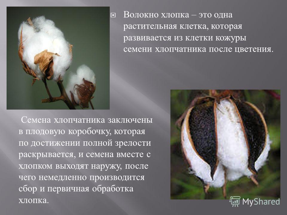 Волокно хлопка – это одна растительная клетка, которая развивается из клетки кожуры семени хлопчатника после цветения. Семена хлопчатника заключены в плодовую коробочку, которая по достижении полной зрелости раскрывается, и семена вместе с хлопком вы