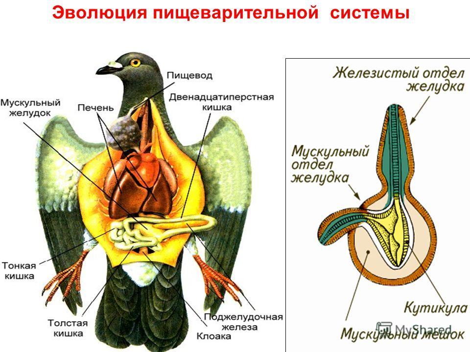 Эволюция пищеварительной системы