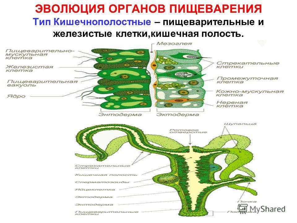 ЭВОЛЮЦИЯ ОРГАНОВ ПИЩЕВАРЕНИЯ Тип Кишечнополостные – пищеварительные и железистые клетки,кишечная полость.